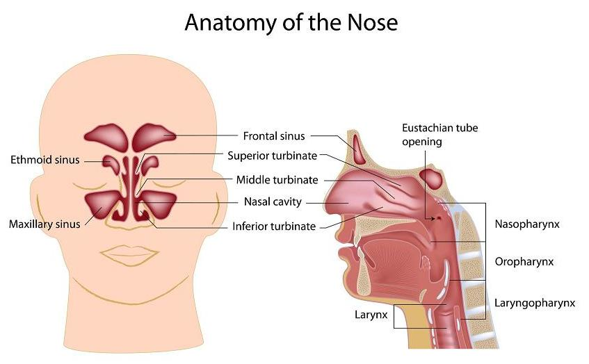 Nose anatomy and respiratory diseases